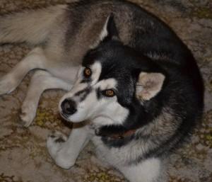 Mishka our Husky.