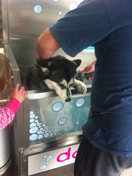Mishka our Husky trying to climb out of the DIY Dog Wash