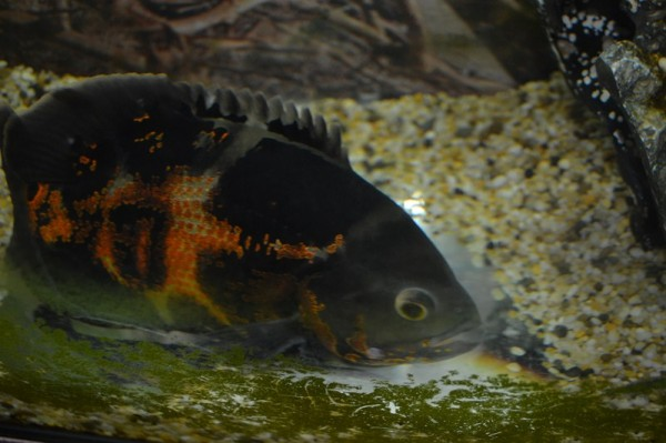 Ernie, the Oscar Fish