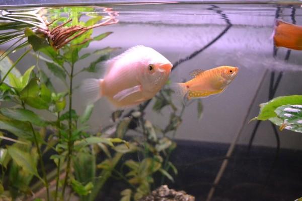 Giant Kissing Gourami Fish