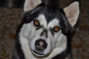 Close up photo of Mishka our Husky