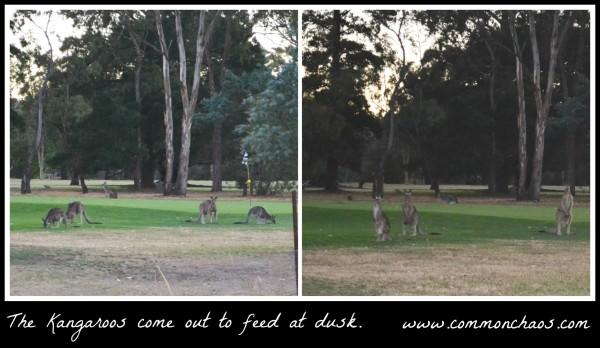 Pepsi Next kangaroos